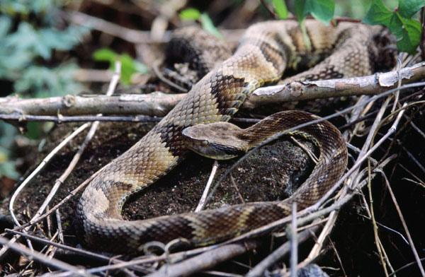 Bothrops jararaca viper. Image Credit: Felipe Süssekind
