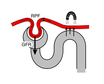 filtration fraction and proximal tubule resorption