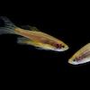 gr-zebrafish-small